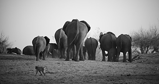 A herd of African elephants - a great photo opportunity while on your Botswana safari.