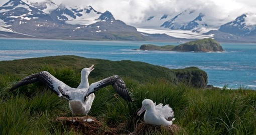 Albatross Couple Spreading Wings, South Georgia
