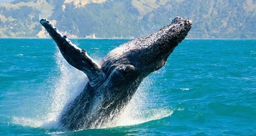 Experience whale watching off the coast of Sydney as part of your Australia Vacation