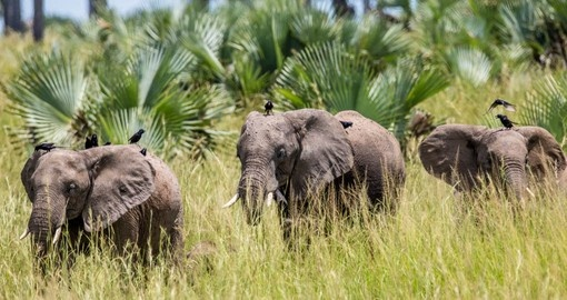 Look for Elephants in the National Park on your Uganda Safari