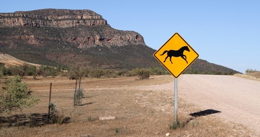 You might meet Wild Horses on your way to Wilpena Pound during your next Australia vacations.