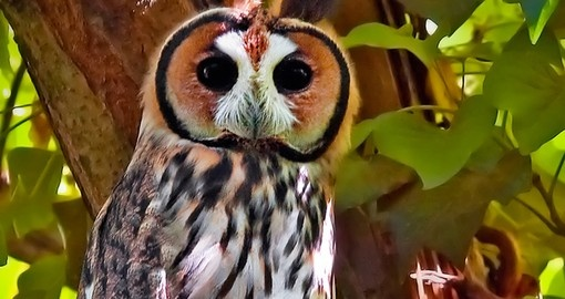 Beautiful Striped owl