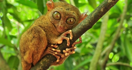 Tarsier's are the worlds smallest primate