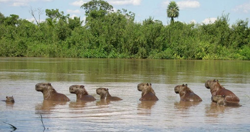 Meet a family of Capybaras on your Brazil vacation