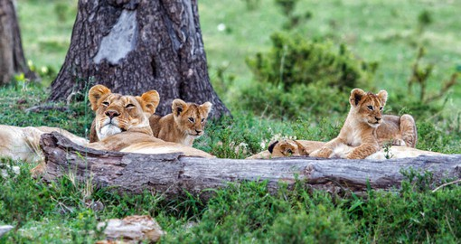 Lions are the most sociable of the big cats, living in Prides of 15 to 20 members