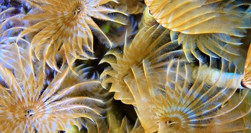 Social Feather-Duster Worms