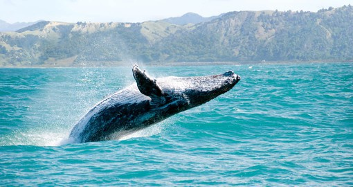 Experience a massive humpback whale playing while traveling from New Zealand to Australia as part of your New Zealand Vacation