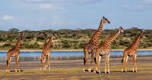 Giraffes are enjoying sunny day in Serengeti National Park