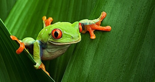 The Panamanian tree frog is one of the many local wildlife you can encounter during your Panama tour