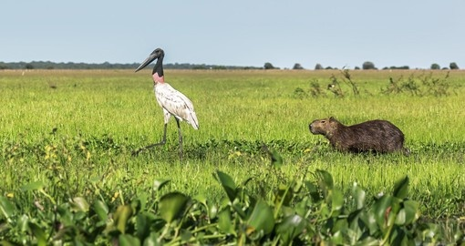 Wood stork and capybara hanging out in El Cedral