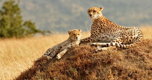 A highlight of any Kentan Safari is a visit to the Masai Mara National Reserve and its large population of Cheetah.