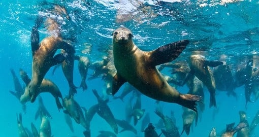 The Californian sea lions of Mexico