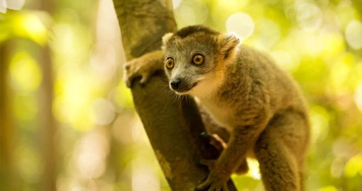 The Lemurs are a highlight when travelling to Madagascar