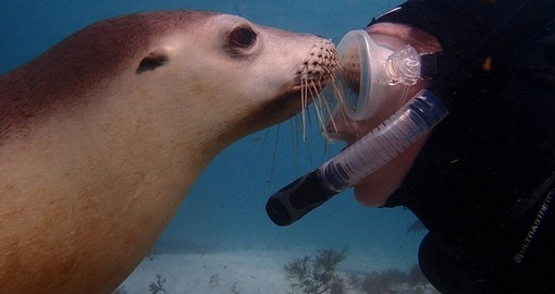 Enjoy a once in a life time Swim with the Sea Lions on your Australia Vacation