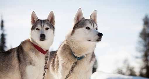 Enjoy time with huskies in Tromso during your next Norway vacations.