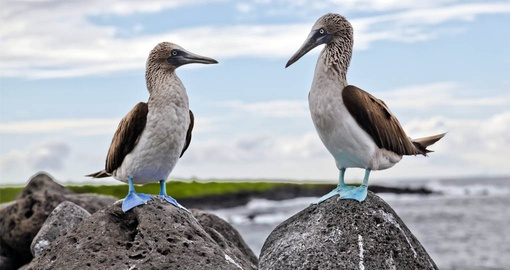 Blue footed boobies in a courtship dance