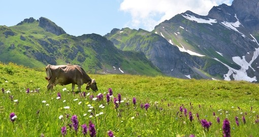 Cow in an alpine meadow