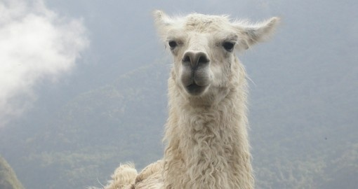 You will be able to see Lama's and enjoy the beauty of it during your next trip to Peru.