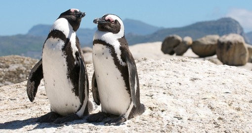 Visit Boulders Beach and see the Penguin colony on your South African tour