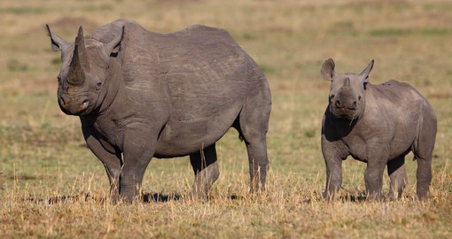 Drive along side of one of the worlds most endangered animals, the Black Rhino on your Kenya vacation