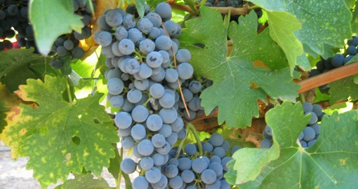 Sample Argentinian Grapes on your trip to Argentina