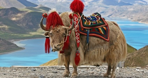 Rare white yak with Himalaya mountain range at the background