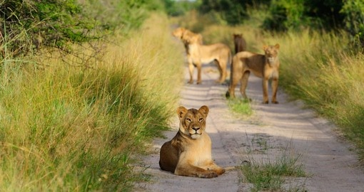 Have the opportunity to see Lions in the Hwangi National Park on your Zimbabwe Safari