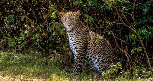 Begin your Kenyan Safari with a visit to the Aberdare National Park and spot Leopards.