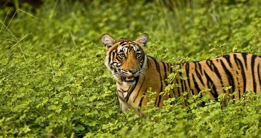 The elusive tiger in Ranthambhore National Park