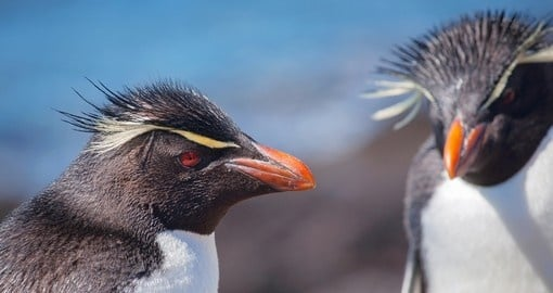 Rockhopper Penguins in Patagonia