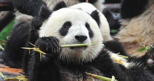 See giant Pandas on your China Vacation