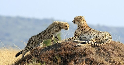 A cheetah and cub on the Masai Mara Reserve - A great photo opportunity on your Kenya safari.