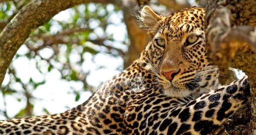 You might see the elusive Leopard on your Kenya Vacation