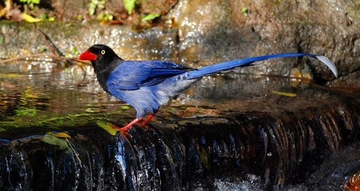 Blue Magpie is the National Bird of Taiwan
