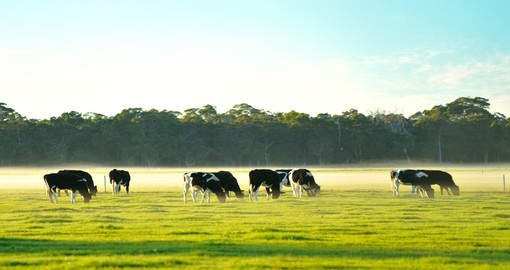 Dairy cattle is one of the many farm animals you will see during your Australia trip.