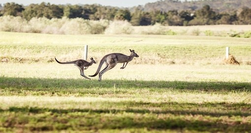 The Hunter Valley is home to large numbers of Kangaroos
