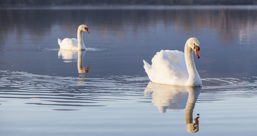 Swans in Northern Italy