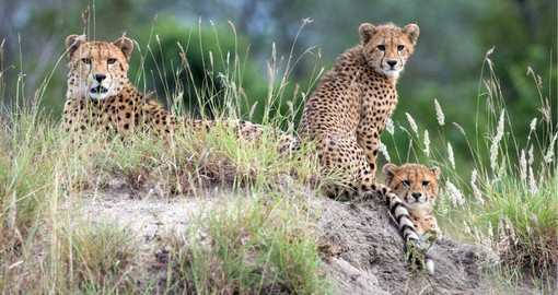 Singita Boulders Lodge is home to a great variety of wildlife, including cheetah