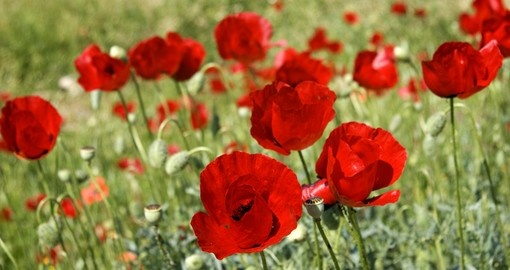 Red poppies in Peloponnese