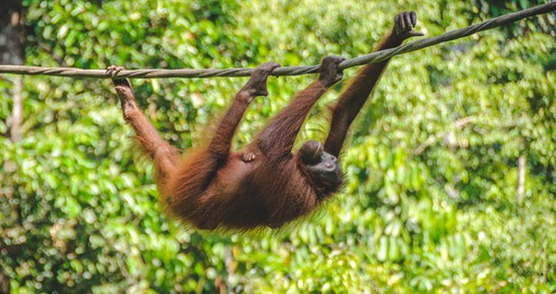 Explore the Orang Utan Rehabilitation Center and learn about the efforts of the locals going into the preservation of domestic species on your Malaysia Vacation