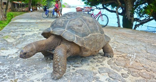 Giant Turtle on Seychelles