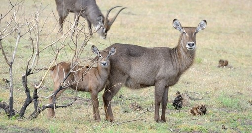 Waterbuck's in Arusha National Park