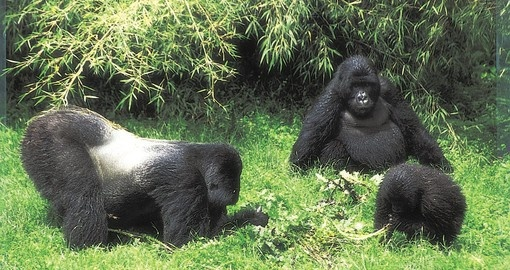 Spend about an hour with a mountain gorilla family