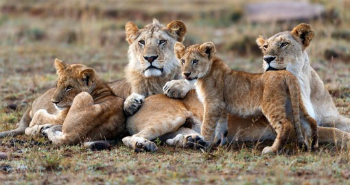The Masai Mara is home to Africa's largest population of Lions