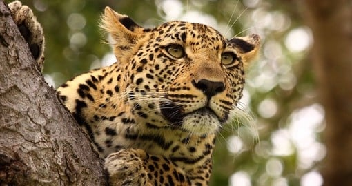 A leopard up high in a tree