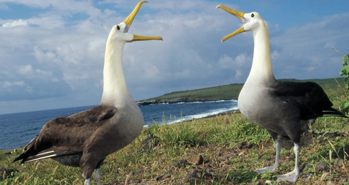 Observe giant Albatross on your Galapagos Vacation