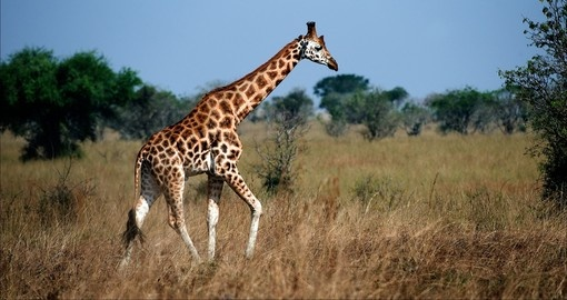 The majestic giraffe as seen on a Queen Elizabeth National Park safaris.