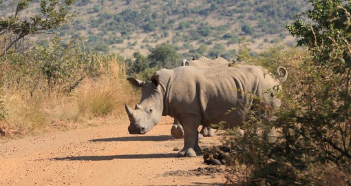 Pilanesberg has established itself as a stronghold for both African rhino species