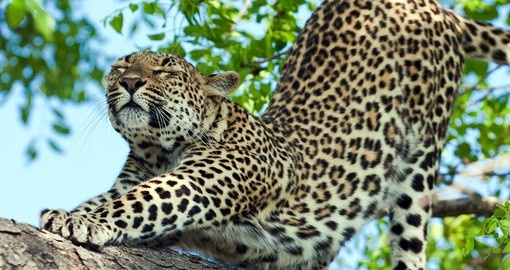 Watch this beautiful Leopard while he is having rest during your next Tanzania safari.
