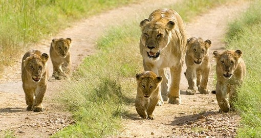 See lions on your Kenyan Safari